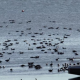 brent geese_large